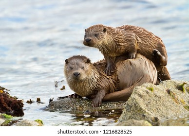 Close up of European otter (Lutra lutra) with a playful cub on shores of Shetland islands, Scotland.