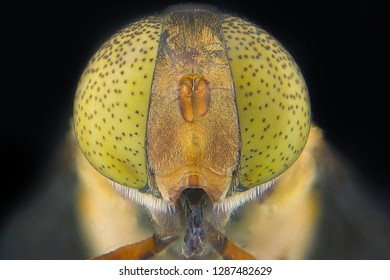Close up Extreme Macro Hoverfly