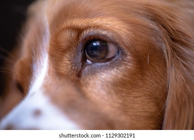 Close up of an eye of a Cocker Spaniel dog pet. The image is naturally illuminated. The brown hair animal is an apartment indoor setting.