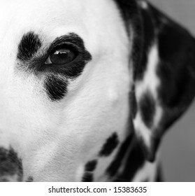 Close up of the eye of a dalmatian.