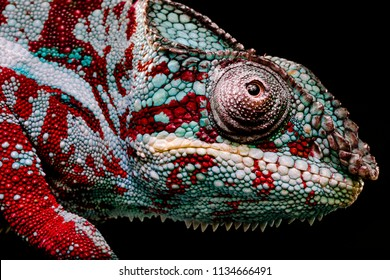 Close Up eye of Green and red Panther Chameleon, Furcifer Pardalis on a black background with clear skin texture