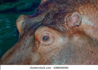 Close up the eye of Hippopotamus that floating in the water