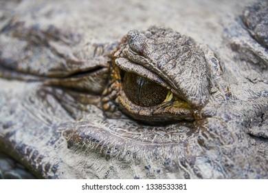 Close up of EYE of a huge Black Caiman Alligator. Guyana South America