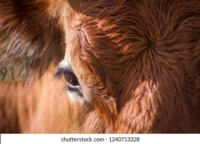 Close up of the eye of a red steer cow.
