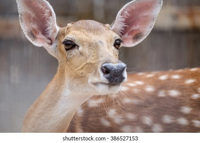close up eye of the spotted fallow deer, selective focus