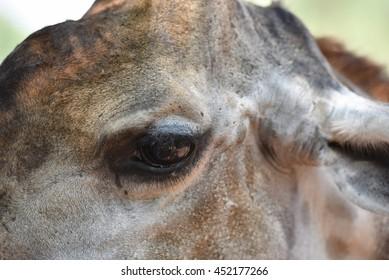 close up eye zebra
