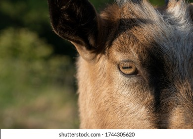 Close up Eyes of Goats in farm.