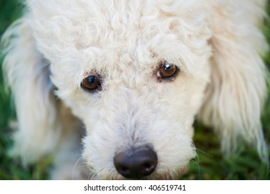 close up of eyes white poodle on green grass