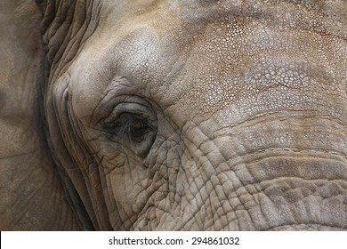 Close up of the face of an african elephant (Loxodonta africana).