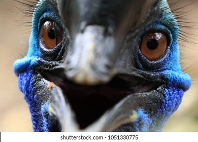 Close up face of Beautiful Cassowary Bird have vivid blue color. beak look like smile