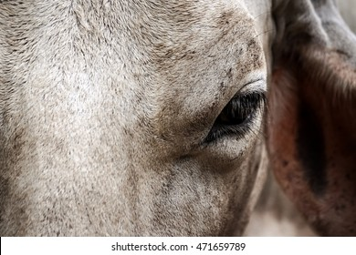 Close up the face of Brahman cattle ,Portrait