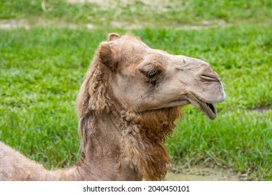 Close up of the face of a camel