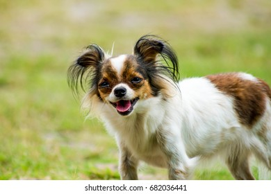 Close up face of chihuahua , Open mouth