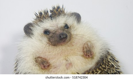 Close up to face of cute African Pygmy Hedgehog