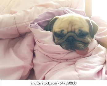 Close up face of cute dog puppy pug sleep rest on sofa bed with tongue out and wrapped blanket because of weather cold with warm sun light in morning