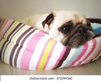 Close up face of cute funny puppy pug dog sleep rest on pillow bed with tongue sticking out in lazy time.