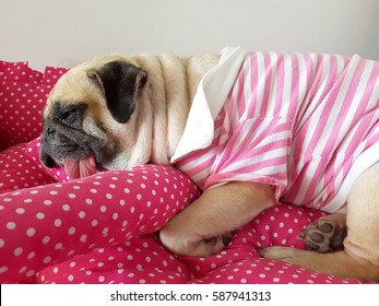 Close up face of cute funny puppy pug dog sleep rest on pillow bed with tongue sticking out in lazy time