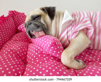 Close up face of cute funny puppy pug dog sleep rest on pillow bed in lazy time.