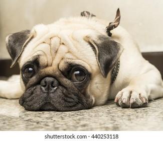 Close up face of Cute pug