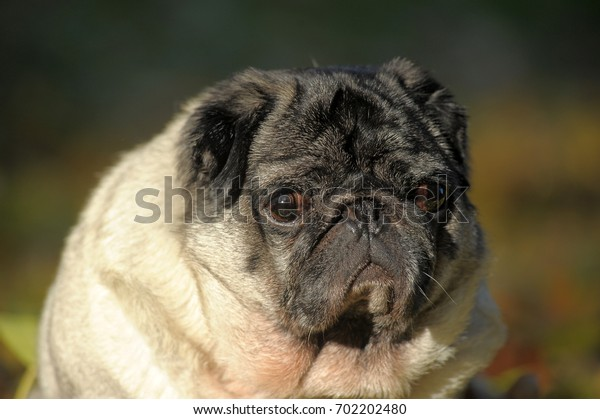 Close up face of Cute pug
