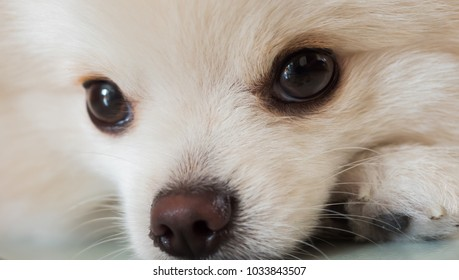 close up face dog Pomeranian