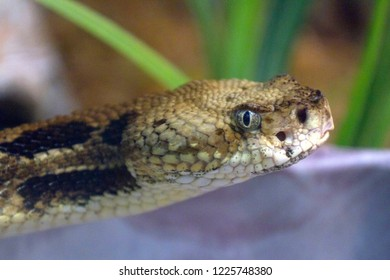 Close up of the face of an eastern timber rattlesnake as it glares at the viewer and decides if you are a threat