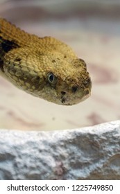 Close up of the face of an eastern timber rattlesnake as it warily watches the viewer