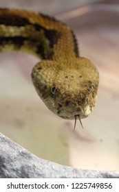 Close up of the face of an eastern timber rattlesnake as it glares at the viewer flicks out its forked tongue