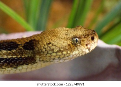 Close up of the face of an eastern timber rattlesnake as it glares at the viewer
