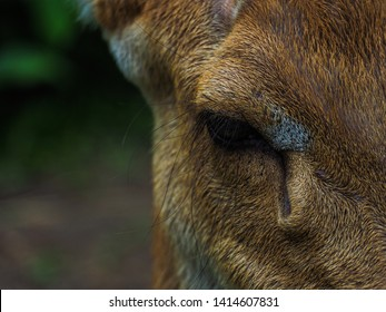Close up face and eye of an female asian Eld's Deer or brow- antlered deer with blurred filed background, an endangered species of deer taken at the zoo of Thailand