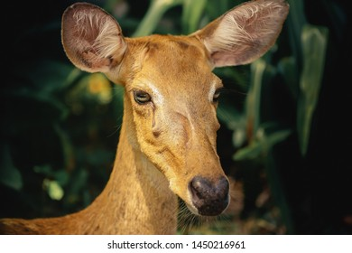 Close up face and eye of an female asian Eld's Deer
