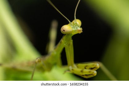 Close up the face of the green Hierodula patellifera. common name giant Asian mantis, Asian mantis, Indochina mantis is a species of praying mantis belonging to genus Hierodula.