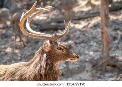 Close up face and horns of an Eld's Deer or brow- antlered deer with blurred filed background in the morming.
