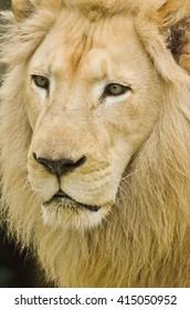 Close Up Face Lion