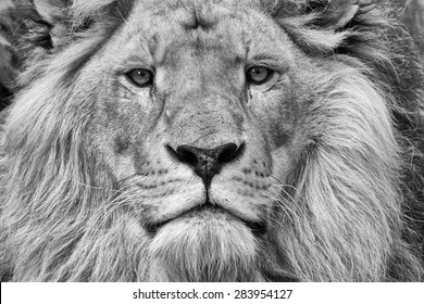 A close up of the face of a male lion