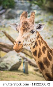Close up face and neck side profile image of a giraffe