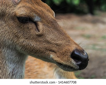 Close up face, nose and eye of an female asian Eld's Deer or brow- antlered deer with blurred field background, an endangered species of deer taken at the zoo of Thailand