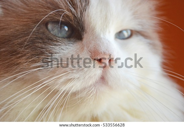 close up face of Persian cat focus on a pink nose with blurry eyes and furs