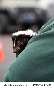 Close up of the face of a pet skunk, resting in a woman's arms.  Select focus of skunk and woman's arm, with blurred colorful background.  Gentle animal, unusual pet, domestic USA