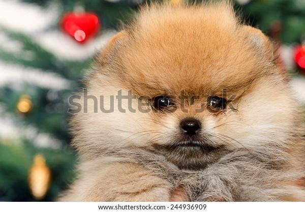 close up face of pomeranian dog