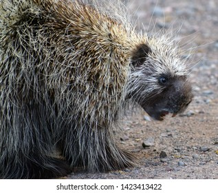 Close up of the face of a porcupine.