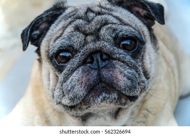 close up face pug dogs