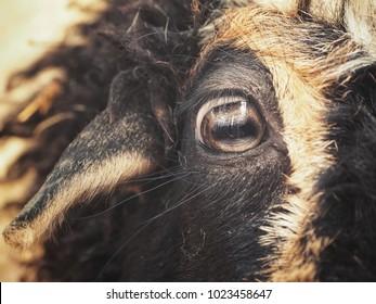 Close up of face sheep