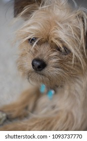 Close up face shot of fawn colored Yorkie terrier laying down