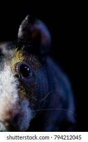 Close up face Skinny guinea pig