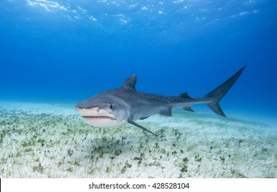 "Close up face view of a Tiger shark swimming over sand at the dive site ""Tiger Beach"" in the Bahamas."