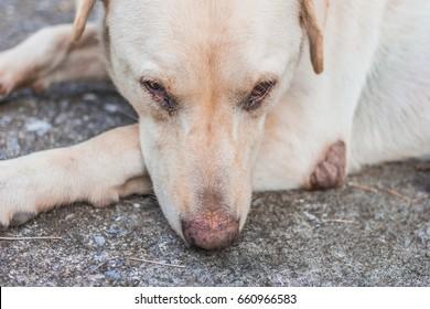 Close up face of a white dog labrador
