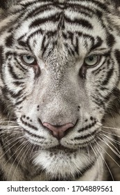close up the face of white tiger