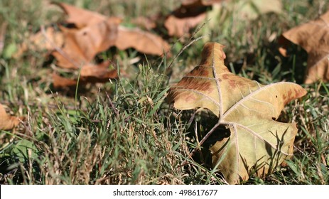 Close Up Of Fall Leaves Laying In Green Grass Showing Beautiful Details Of Dead Brown Maple Leaf During The Season Of Autumn On A Farm In The Mountains Of South West Virginia