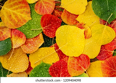 Close up of fallen Aspen tree leaves in various colors laying on ground covered with water drops from rain